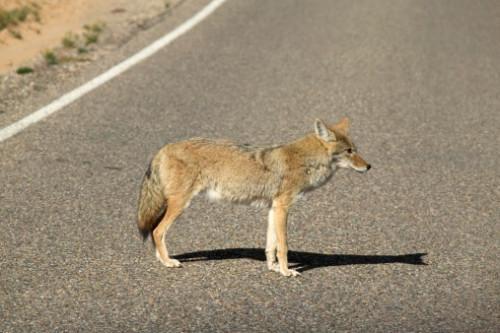 Comment se débarrasser des renards et coyotes dans l'Illinois