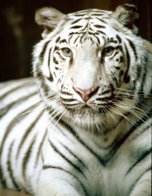 Siberian Tiger Adaptations et fonctionnalités