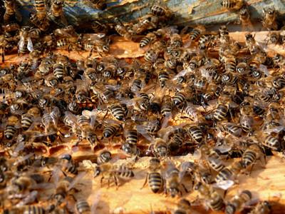 Comment utiliser le sucre en poudre pour le contrôle Mite pour Bee Hives