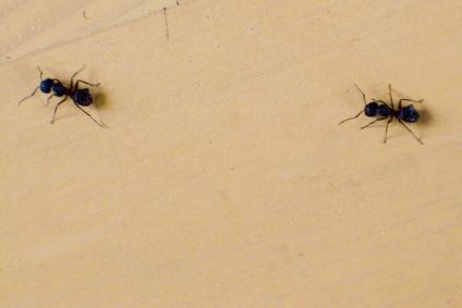 Comment tuer les fourmis pour Free Avec Homemade Ant tueur