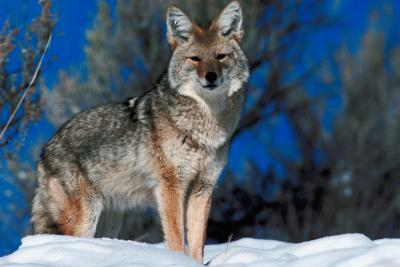 Que font les Coyotes Mangez dans le Wintertime?