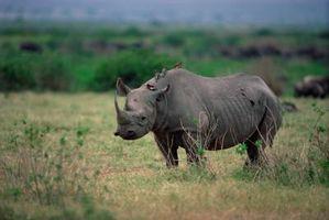 Les dangers pour Rhinos