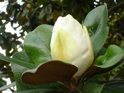 Plantes Evergreen Magnolia