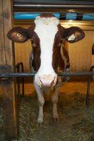 Comment Figure poids vif des bovins