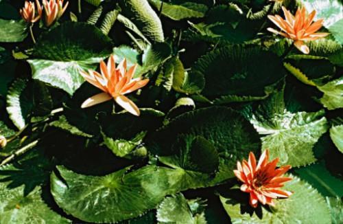 Plantes aquatiques australiens occidentaux