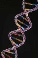 Quelle est la différence entre un nucléotide et un nucléosidiques?