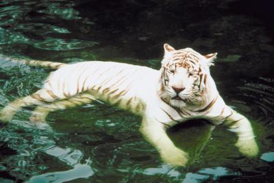 Quels sont les environnements du Tigre Blanc?