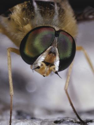 Quels sont les ingrédients sont nécessaires pour les cultures mouches des fruits?