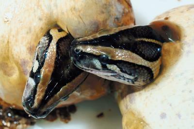 Les habitudes alimentaires du Serpent Milk