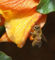 Comment attraper une abeille au miel