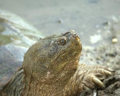 Qu'est-ce que la diète de tortues serpentines?