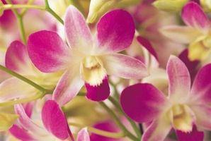 Orchidées comestibles pour les gâteaux