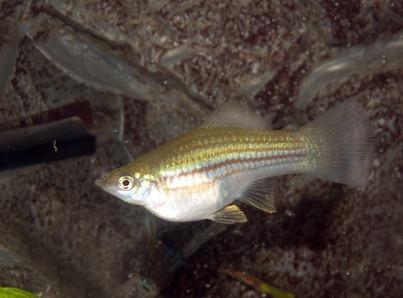 Comment élever Shiners pour Fish Bait