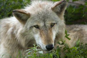 Pourquoi est le Loup mexicain en voie de disparition?