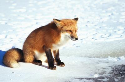 Quel type de Foxes en direct dans l'Ohio?