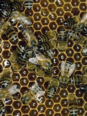 Comment élever des abeilles avec un Top Bar Beehive