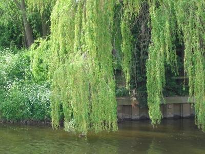 Weeping Willow Disease Racine