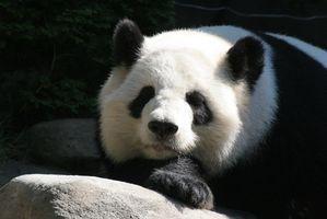 Comment puis-je trouver un Gold Coin Panda chinois à vendre en ligne?