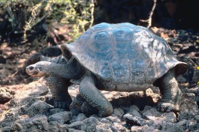 L'habitat naturel de la tortue en forme de dôme