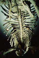 Qu'est-ce que les géologues utilisent pour déterminer l'âge absolu des Rocks & Fossiles?