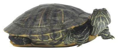 Comment savoir si Curseur tortues sont mâles ou femelles