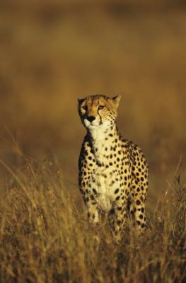 Caractéristiques du Cheetah