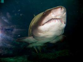 Bébé requin faits pour les enfants