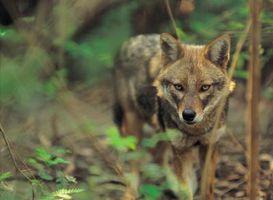 Quels sont les dangers des Loups Gris?