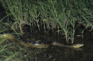 Quatre espèces de Anacondas