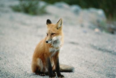 Pièges vivants maison pour Foxes