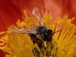 Comment se débarrasser des abeilles à Picnics