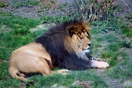 Les Conseils Big Game Hunter Lion Hunt Cabela
