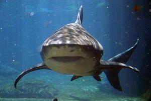 Comment identifier les dents de requin