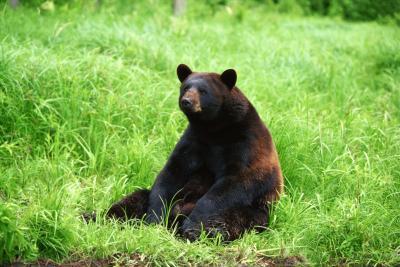 Les sept niveaux de taxonomie de l'ours noir