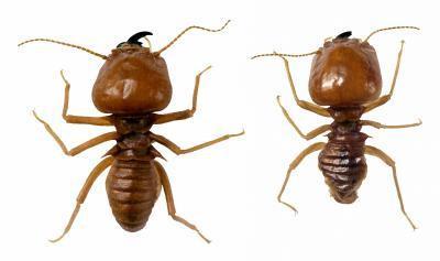 Comment tuer Termites sur bois Chaises