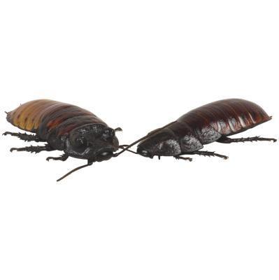 La différence entre un Waterbug et un Cockroach