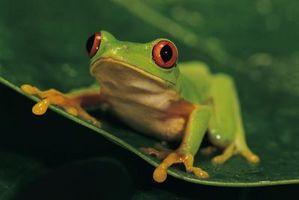 """Comment faire des oeufs poussent plus vite dans les «grenouilles de poche"""""""