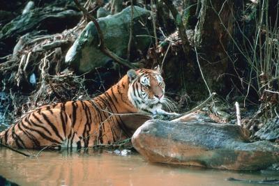 Pourquoi le tigre malais en voie de disparition?