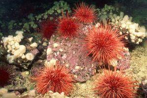 Comment Disséquer un Sea Urchin